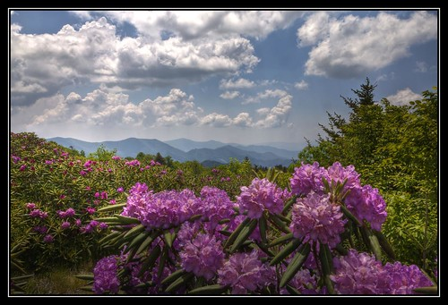 pink flowers mountains clouds nc blossoms northcarolina rhododendron blooms hdr appalachiantrail roanmountain photomatix carversgap at hdraddicted 2xphdr