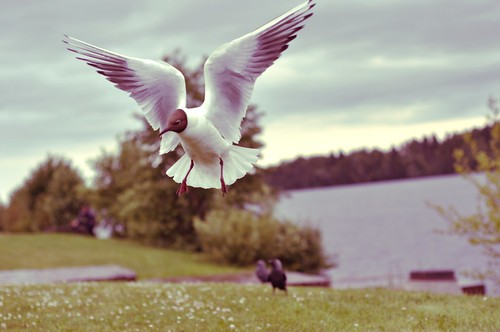 The Black-headed Gull or Skrattmås