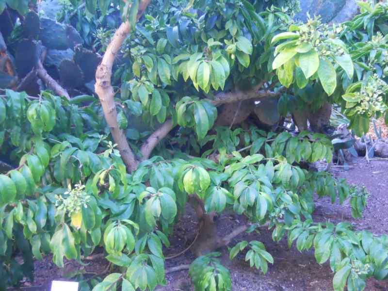 Pereskia grandiflora 2
