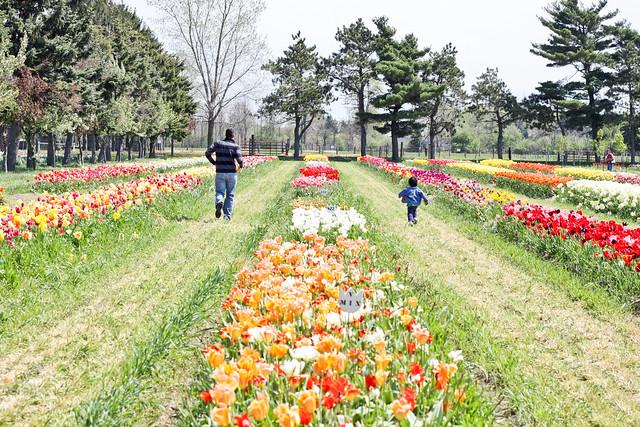 tulips_-2