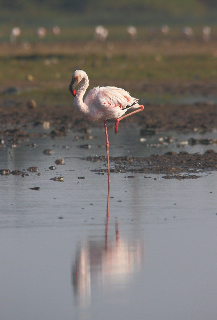 Lesser_Flamingo_Near_Jamnagar_Railway_Station