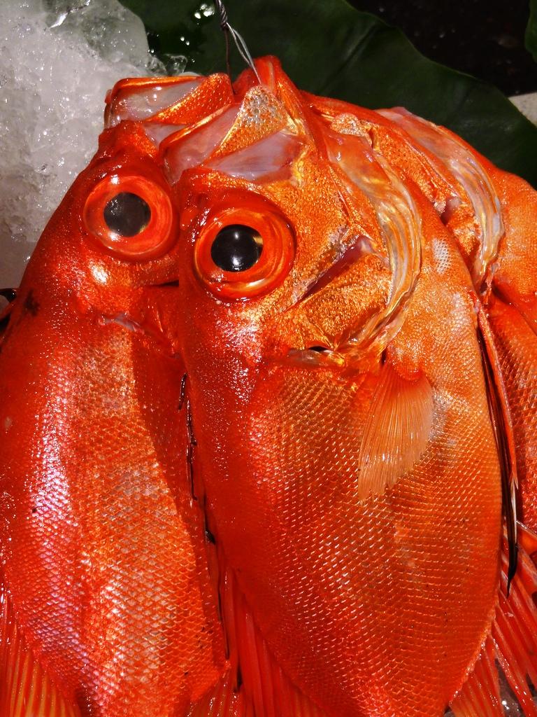 紅目鰱是春夏常見的漁獲,肉細經濟價值高,其魚皮質地如砂紙般,十分堅韌。