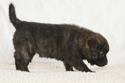 Kumi-Second-Litter-Pup5-Female(Nori)-Day30b
