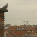 roof-top-pigeon