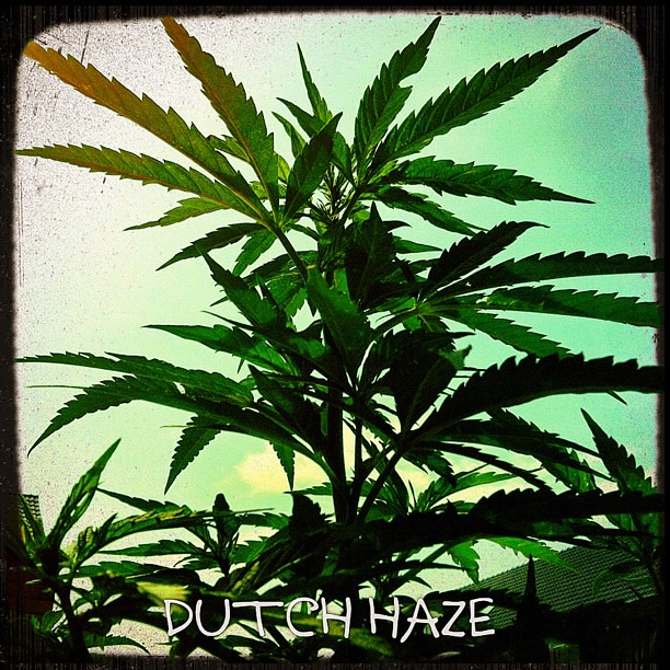 dutch #haze #outdoor #weed #ganja #kush #marihuana