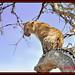 LEOPARD (Panthera pardus) ...MASAI MARA.....SEPT 2013 by M Z Malik