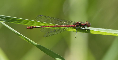 large red damselfly 374  (56)