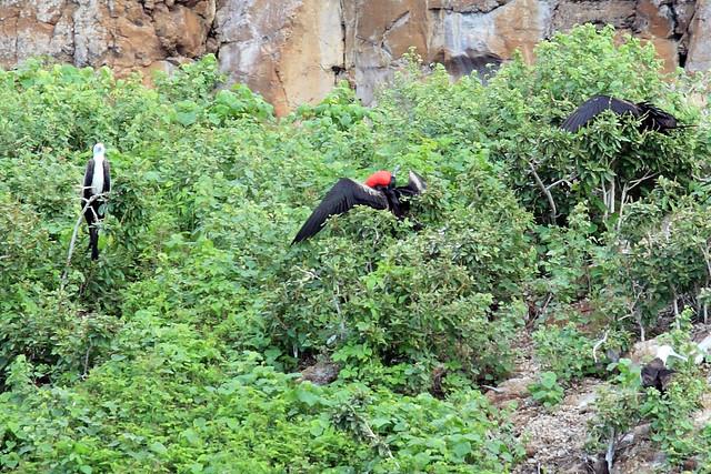 Frigatebird pouch