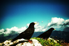 Bergdohlen /alpine chough