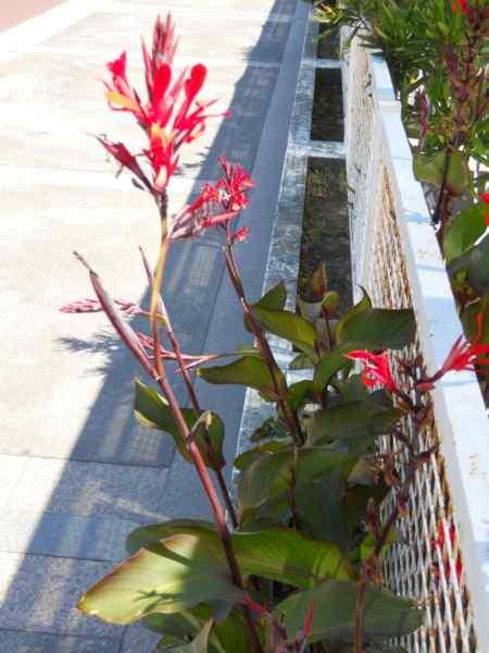 Canna indica-hybrida 'Hoja verde' v 3
