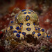 Rare Blue Ringed Octopus - low crawl
