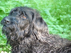 animal sports(0.0), wirehaired pointing griffon(0.0), hound(0.0), cesky fousek(0.0), scottish deerhound(0.0), spinone italiano(0.0), cesky terrier(0.0), bouvier des flandres(0.0), setter(0.0), bergamasco shepherd(0.0), german wirehaired pointer(0.0), dog breed(1.0), animal(1.0), dog(1.0), glen of imaal terrier(1.0), irish wolfhound(1.0), catalan sheepdog(1.0), cã£o da serra de aires(1.0), carnivoran(1.0),