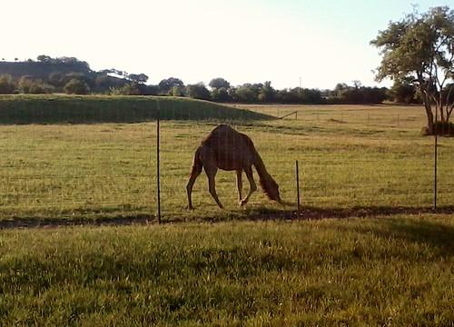texas camel evant