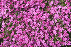 annual plant, shrub, flower, plant, breckland thyme, flora, groundcover,