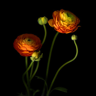 UP WHERE WE BELONG... THE ORANGE RANUNCULUS