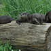 Otter Family Makes a Splash at the Smithsonian's National Zoo