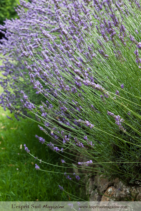Lavender plants from Provence