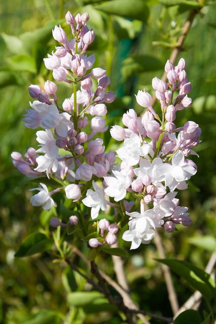 "Harilik sirel ""Moskva kaunitar"" / Harilik sirel ""Krasavitsa Moskvy"" / Syringa vulgaris / Lilac 'Beauty of Moscow'"