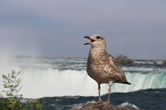 Bird: Niagara falls