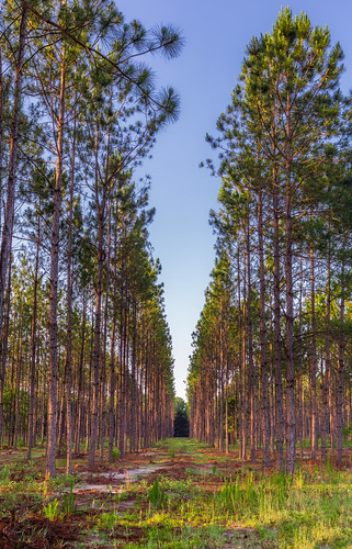 trees sunrise dawn shadows florida earlymorning plantation lutz goldenlight leadinglines landolakes