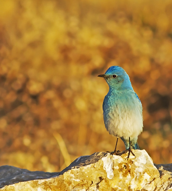 Mountain Blue Bird_0966