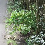 ©2014 Stachelbeeren in der Hecke