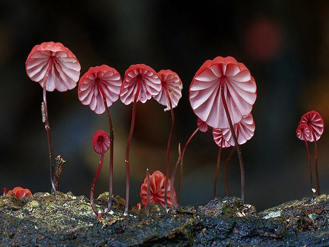 Marasmius Haematocephalu fungi