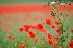 Poppy field near Langton, North Yorkshire-8. By Thomas Tolkien