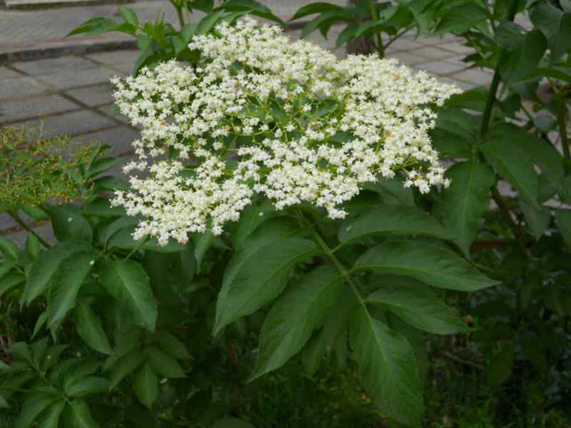 Sambucus nigra 5