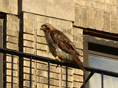 JHW Red-Tailed Hawk (9859)
