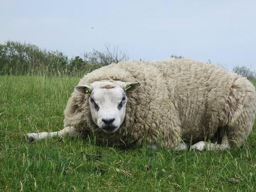5/27 Texel sheep