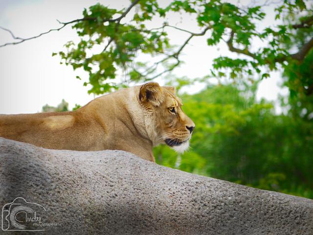 Pensée de Lionne