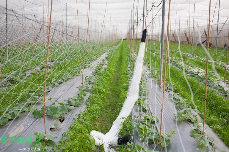 綠翠微農場--無毒美濃瓜 (3)
