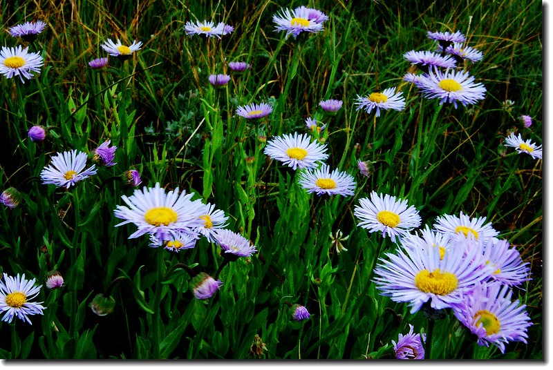 Pinnate-leaved Daisy 4