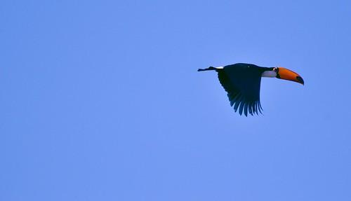 O voo do tucano (o retorno)