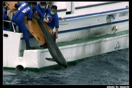 野海豚離開野外,被囚禁在狹窄的水池,圖片來源:Munch