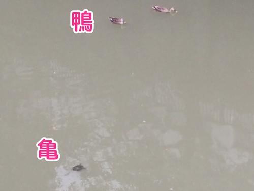 目黒川の亀を撮影