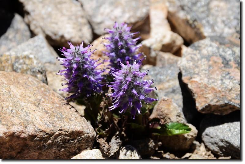 Alpine kittentails
