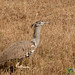 Kori Bustard Bird - Ngorongoro Crater, Tanzania