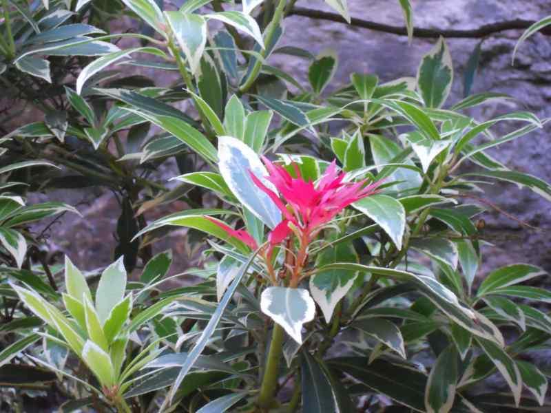 Pieris japonica 'Variegata' 4