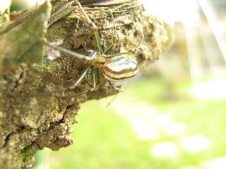 Araña en tronco