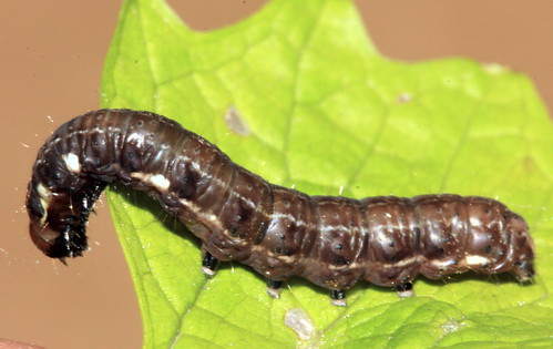 Brown Caterpillar 27903