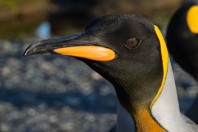 King Penguin Closeup