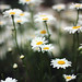 Dreamy Daisies by Pics by Abigail