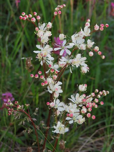 Та́волга обыкнове́нная, или Лаба́зник обыкновенный, или Лабазник шестилепестко́вый — растение семейства Розовые, вид рода Таволга. Растение также известно под названием «Земляные орешки». Википедия Автор фото: Kari Pihlaviita