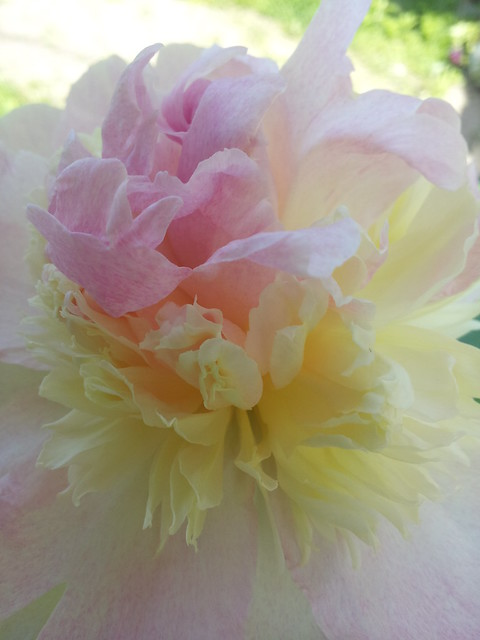 the ballerina of peonies