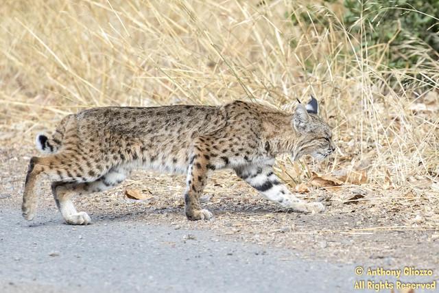 Bobcat (9415)