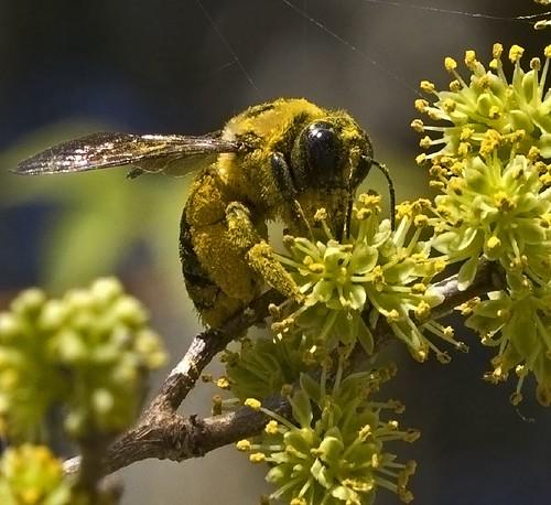 替萊姆樹傳粉的蜂。(Elena Gaillard攝)