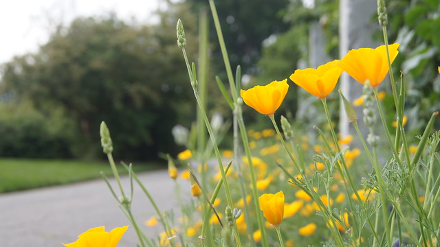 Trio of California poppies (Eschscholzia californica) in the Herb Garden. Photo by Alexandra Muller.
