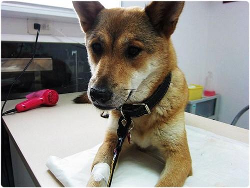 「認養推」台北從宜蘭收容所救出的米克斯混柴犬雪莉小姐~犬瘟復原中~誠徵會照顧他一輩子的新家~謝謝您!20110701